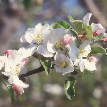 644-04 Apple Blossom (Close-up)